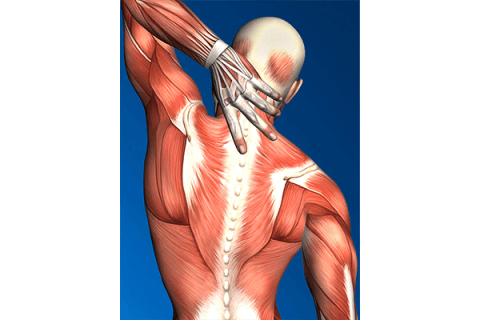 IMAGE - Diagram of muscles in upper back