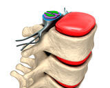 IMAGE - Diagram of spinal column