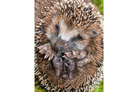 IMAGE - Hedgehog