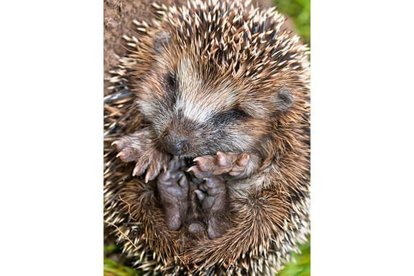 IMAGE - Hedgehog