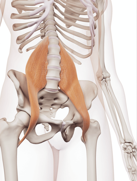 IMAGE - hip flexor muscles