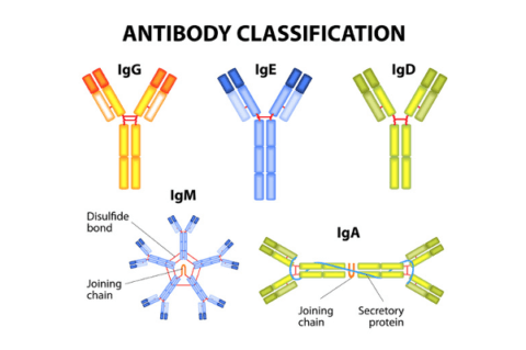 antibody classification